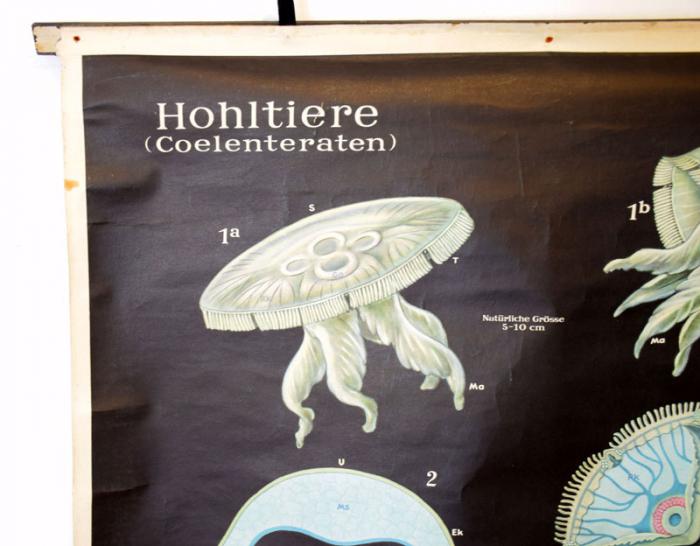 Schoolplaat Hohltiere (Coelenteraten)