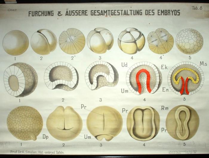 Schoolplaat embryo nr. 8