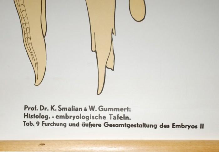 Schoolplaat Furchung des Embryos II nr 17