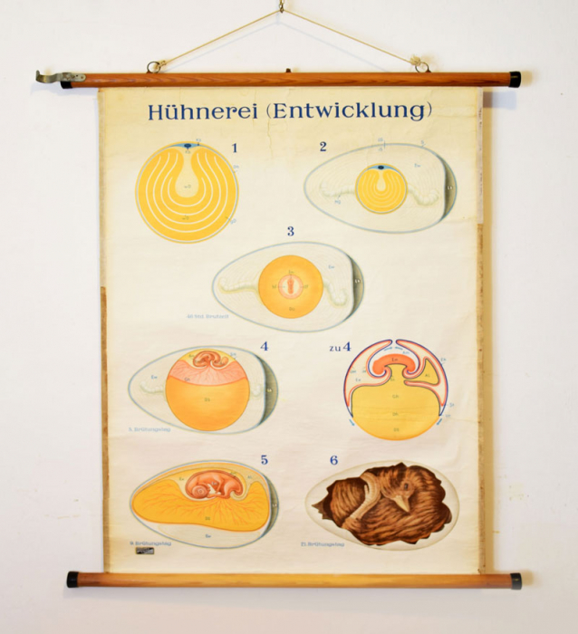 Hühnerei Entwicklung pull down school chart